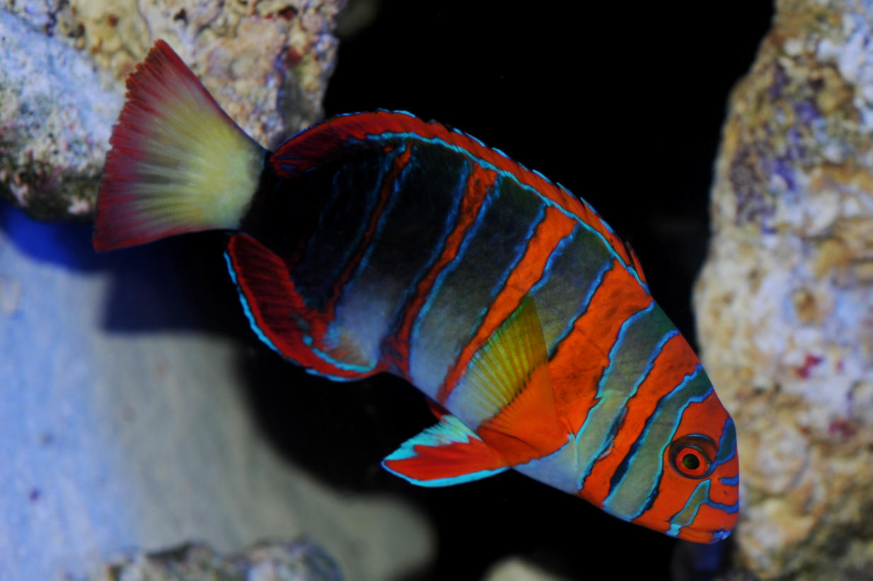 Red and blue striped fish pics 806
