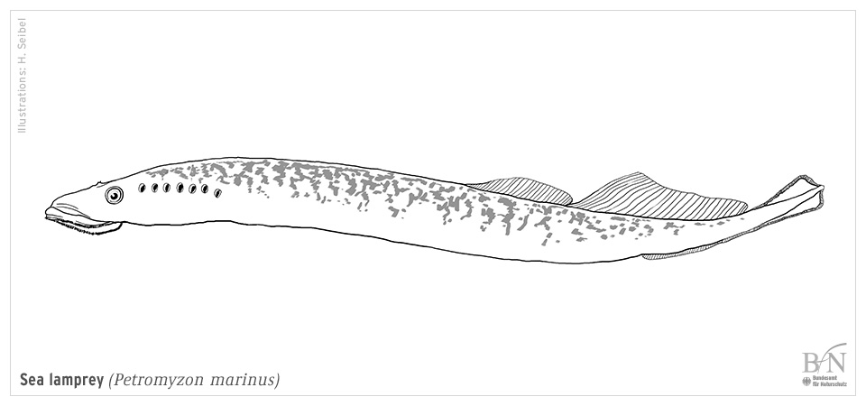 Petromyzon Marinus Linnaeus 1758